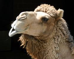 Camel - dry spell