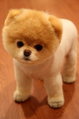 teddy bear puppy
